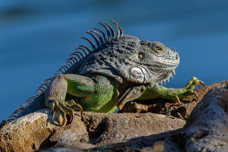 Iguana-3491.jpg