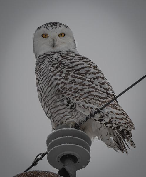 Snowy Owl Daisy Biddeford Pool