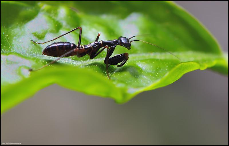 Ant mimic Mantis ( Praying Mantis mimicking an Ant.... )
