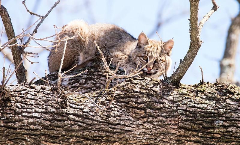 Bobcat in a Tree