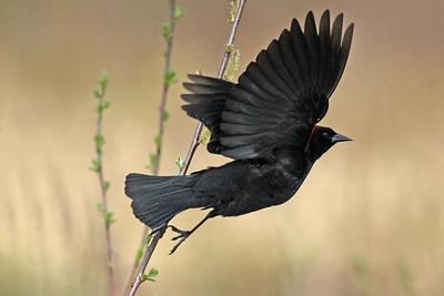 BC Birds