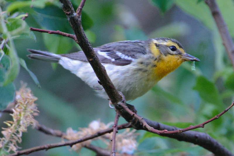 Warbler - Blackburnian - female - Forest Road 158 - Cook County, MN
