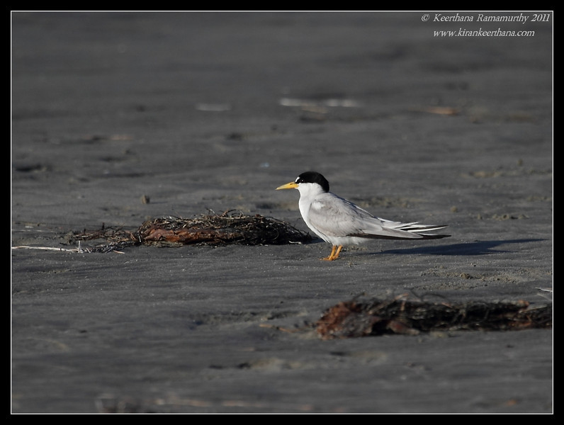 Least Tern at the beach, Robb Field, San Diego River, San Diego County, California, July 2011
