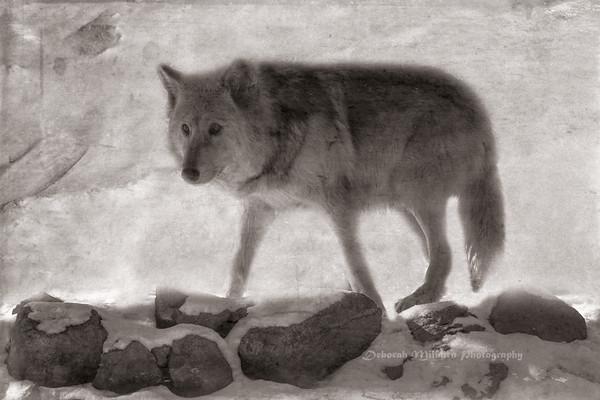 Rocky Mountain Wildlife Foundation Wolves