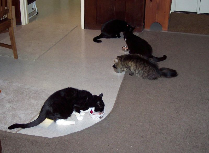 Four cats at dinner in the Krull cafe'