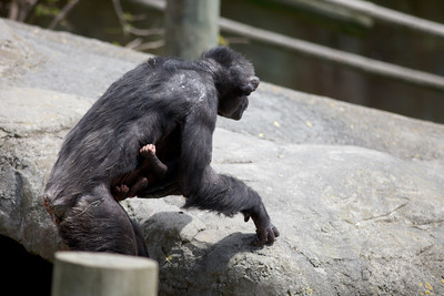 Wellington Zoo Chimps