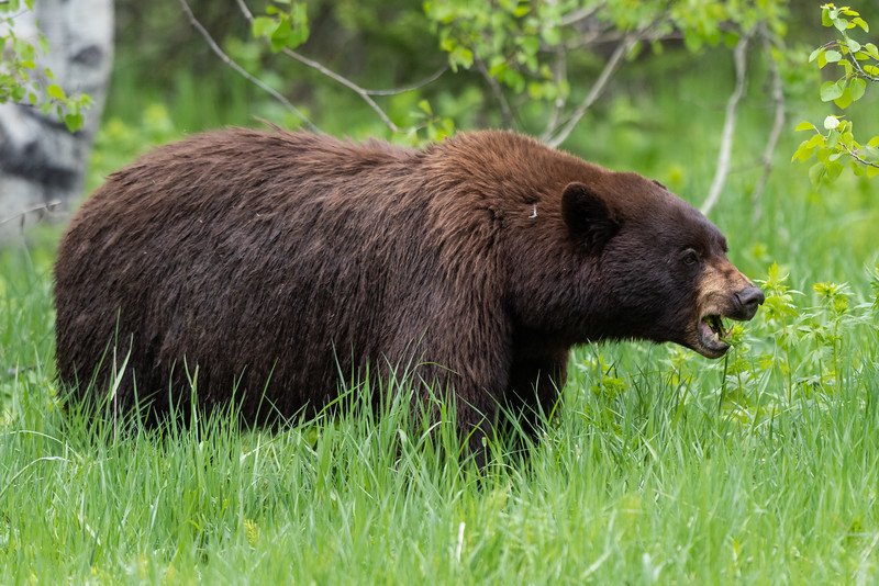 Grass-Fed Bear