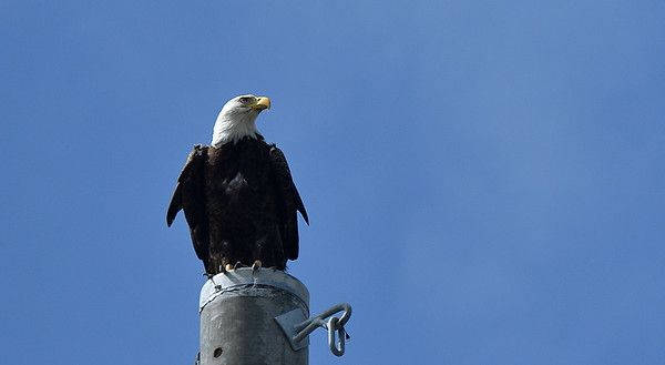 Eagle on Jekyll Island Causeway - 10-25-19