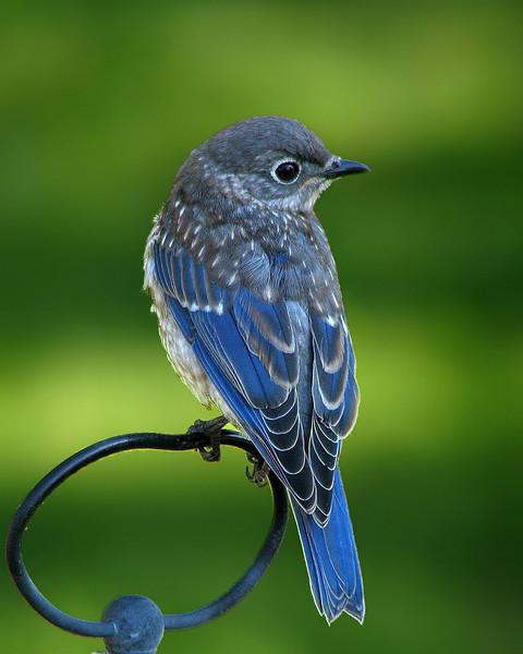 bluebird_fledgling_7512.jpg
