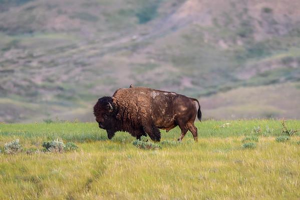 7-10-15 *^Bison