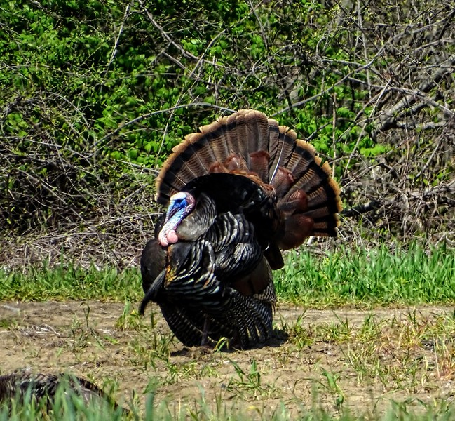 Tom Turkey, New England
