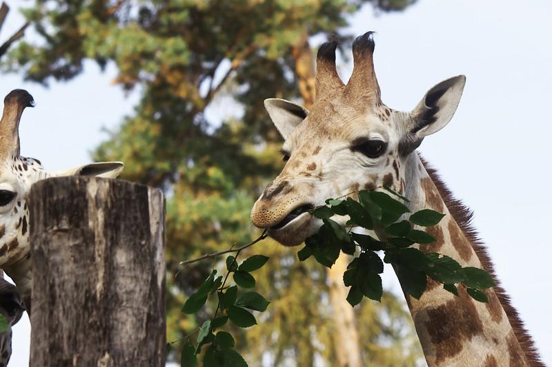 Mladé žirafy