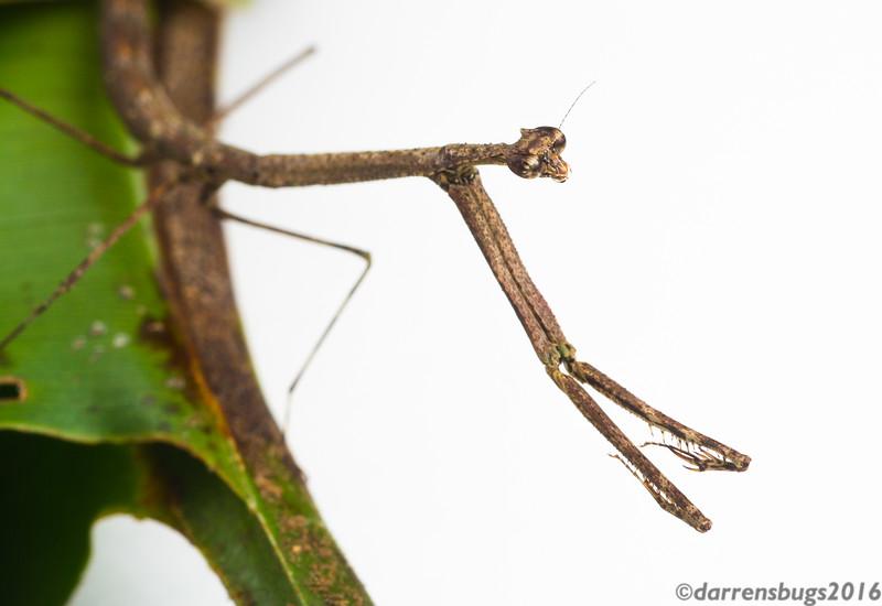 Twig-like praying mantis (Mantidae: possibly genus Angela) from Belize.