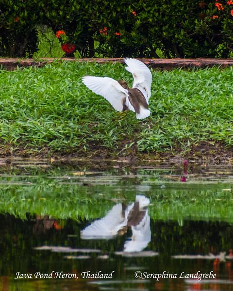 _DSC5145Sokuthai Pons Heron.jpg