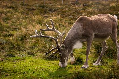 Scotland:  Reindeer