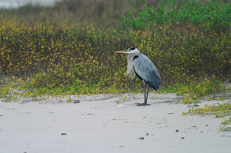 Great Blue Herons are common throughout the United States [February; Laguna Atascosa National Wildlife Refuge, Texas]