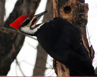 Pileated Woodpecker (and few other birds)