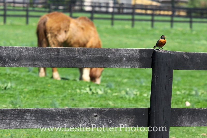 Robin on Horse Pasture Fence