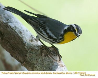 YellowThroatedWarblerA60523.jpg