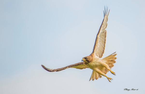 Red-tailed Hawk_DWL8482.jpg