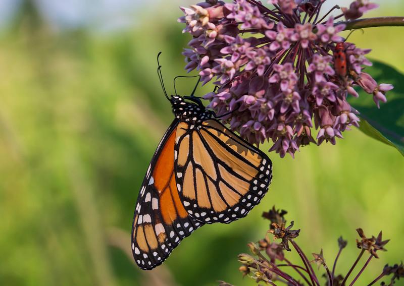Monarch-butterfly-milkweed3-SFbog.jpg
