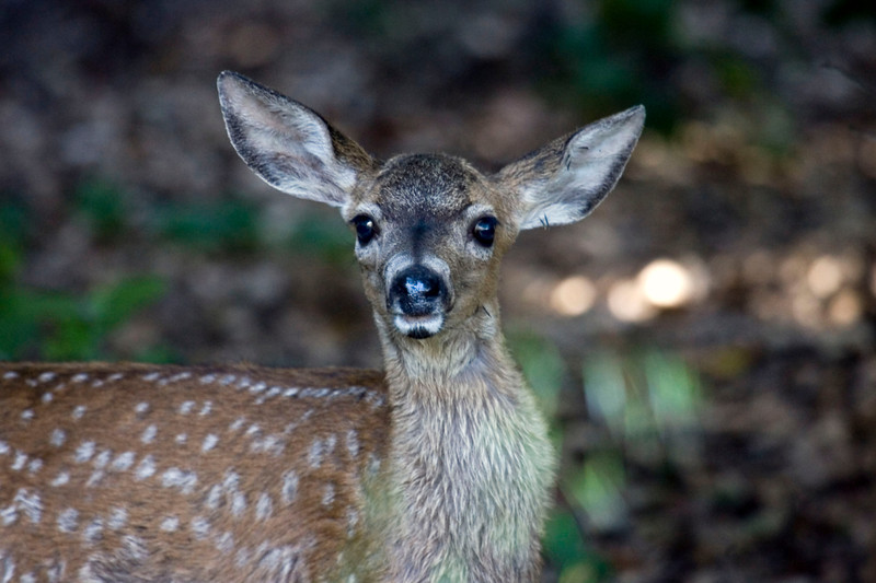 Blacktailed deer fawn, Point Reyes National Seashore 7/6