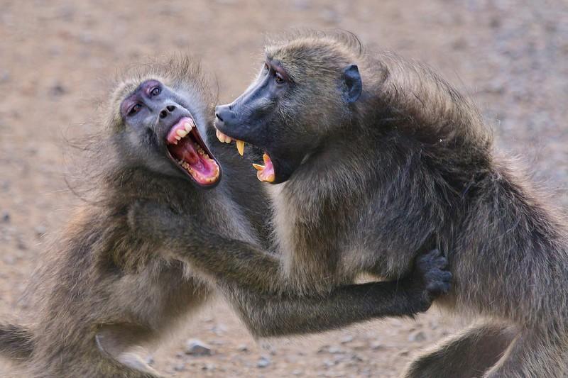 Baboons fighting1 copy.jpg