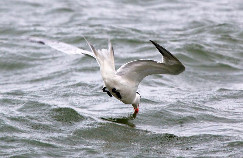 caspianternfishing.jpg