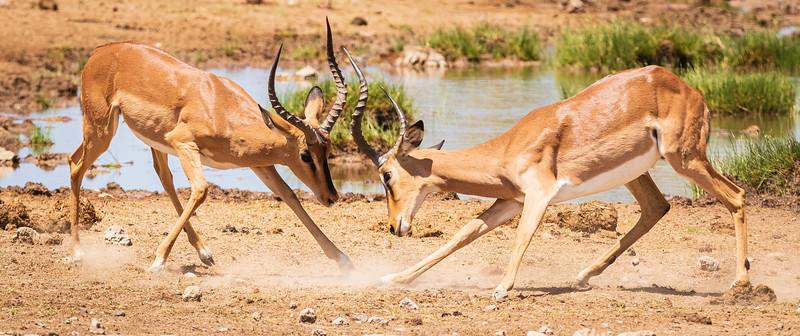 Impala at Goas 3