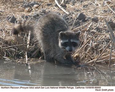RaccoonA66900.jpg