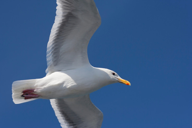 Seagull in Summer – Larus argentatus in front of a blue Summer Sky