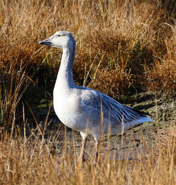 young snow goose 2020 1.jpg