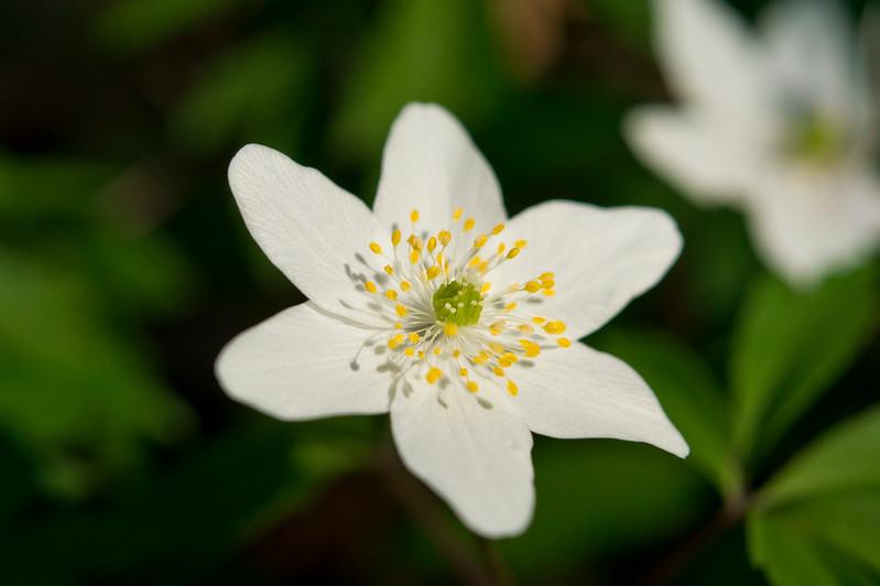 Anemone nemororsa in spring