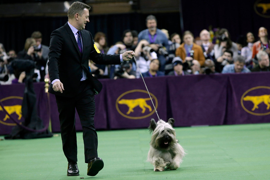 . Larry Cornelius shows Charlie, a skye terrier during the terrier group competition at the Westminster Kennel Club dog show, Tuesday, Feb. 17, 2015, at Madison Square Garden in New York. (AP Photo/Mary Altaffer)