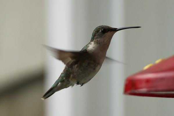 Hummingbird June 2011