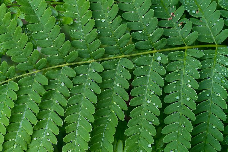 Ferns and Rain Drops_1996