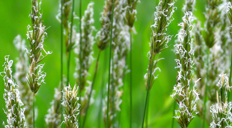 Grass-flowers-closeup-SFB.jpg