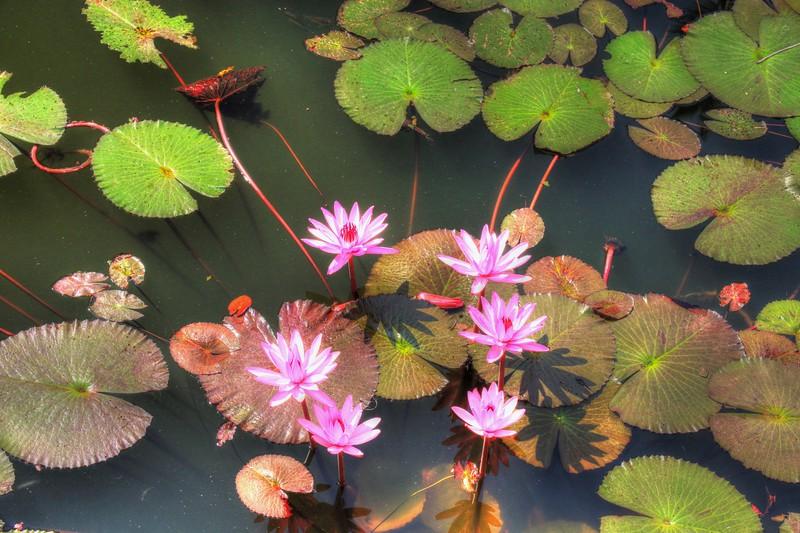 Lotus flowers - Luang Prabang, Laos