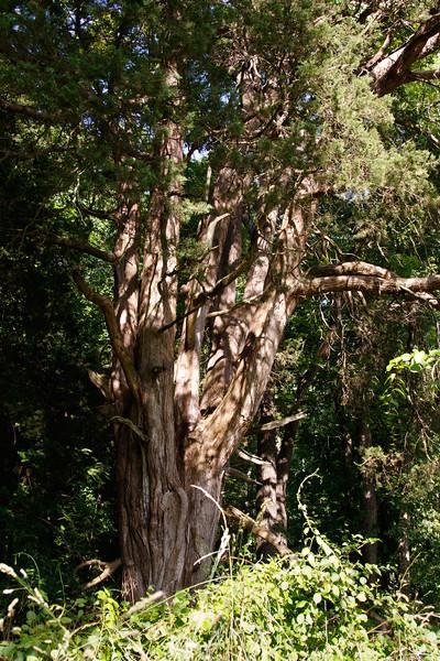 _I0A2932 cedar fort tree.jpg