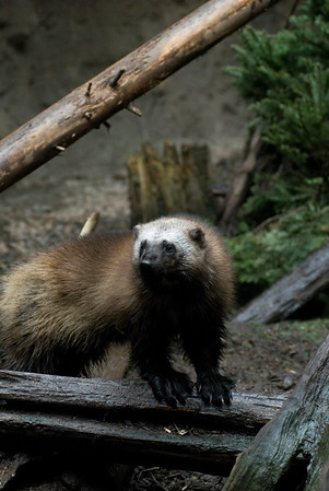Wildlife Stock Photography - Wolverine Pictures