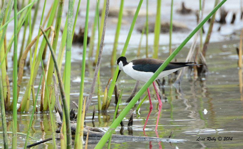 Black-necked Stilt - 4/4/14 - Lake Hodges near Lake Shore Drive