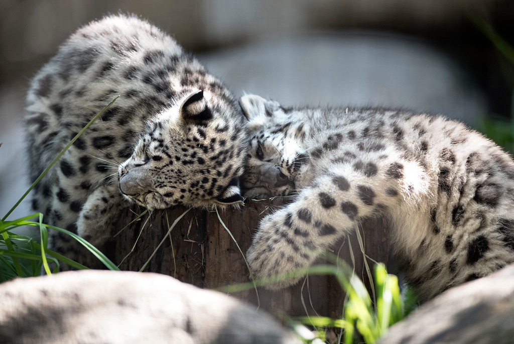 . Brother and sister Snow Leopard cubs cuddle in their habitat at Los Angeles Zoo and Botanical Gardens on Tuesday, Sept. 12, 2017. (Photo by Ed Crisostomo, Los Angeles Daily News/SCNG)