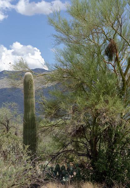 20180902-Saguaro-NP-East-4295.jpg