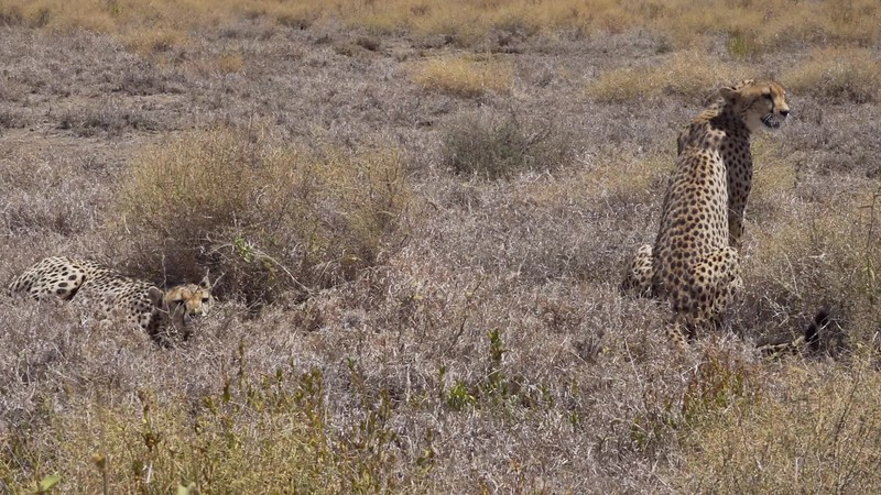 2 Cheetah bros interact with female. Eastern Serengeti TZ