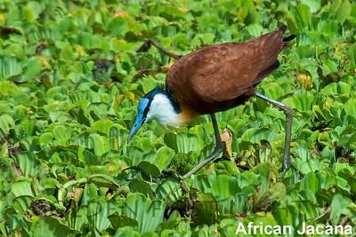 African Jacana, Kenya