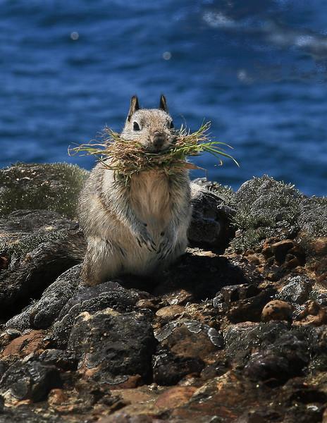 California_ground_squirrel_at_Point_Lobos.jpg