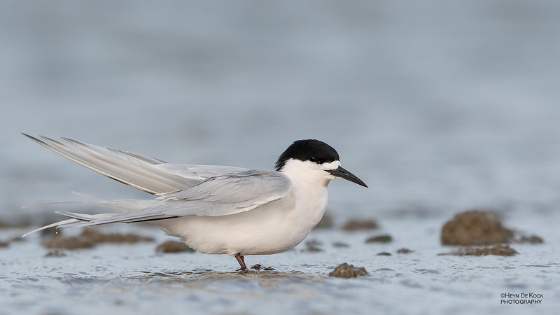 White-fronted Tern, Christchurch, SI, NZ, Sep 2018-12.jpg