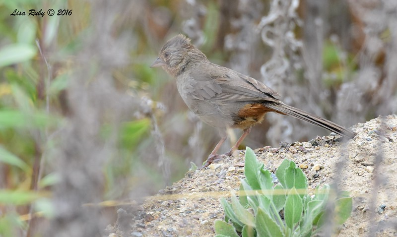 California Towhee - 6/5/2016 - Flintkote Ave and Estuary Way