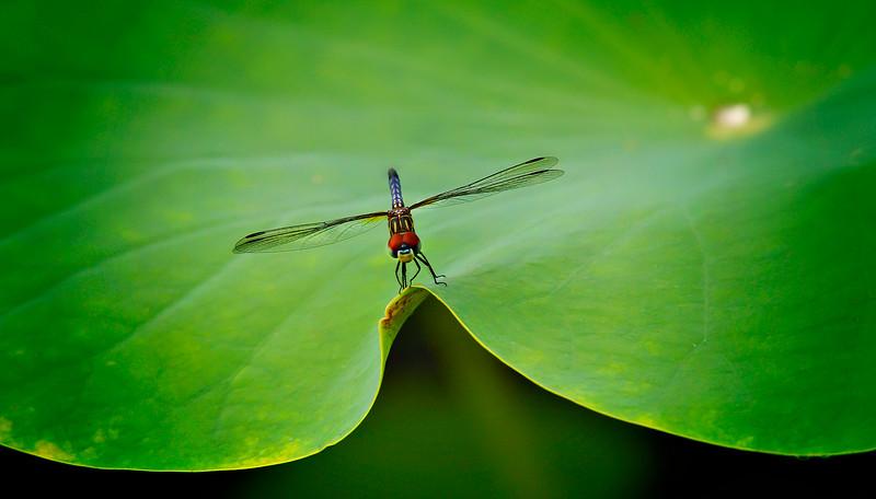 Dragonflies-067.jpg