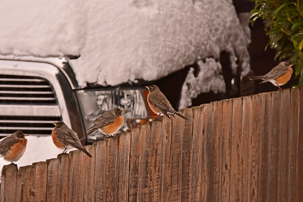 A Round of  Robins_2-27-19
